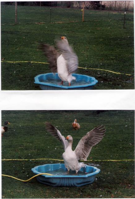 Mutter Kampfgans beim baden